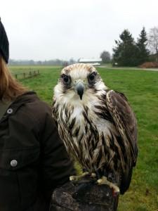 Der Falke, der eigentlich im Norden Afrikas zu Hause ist.